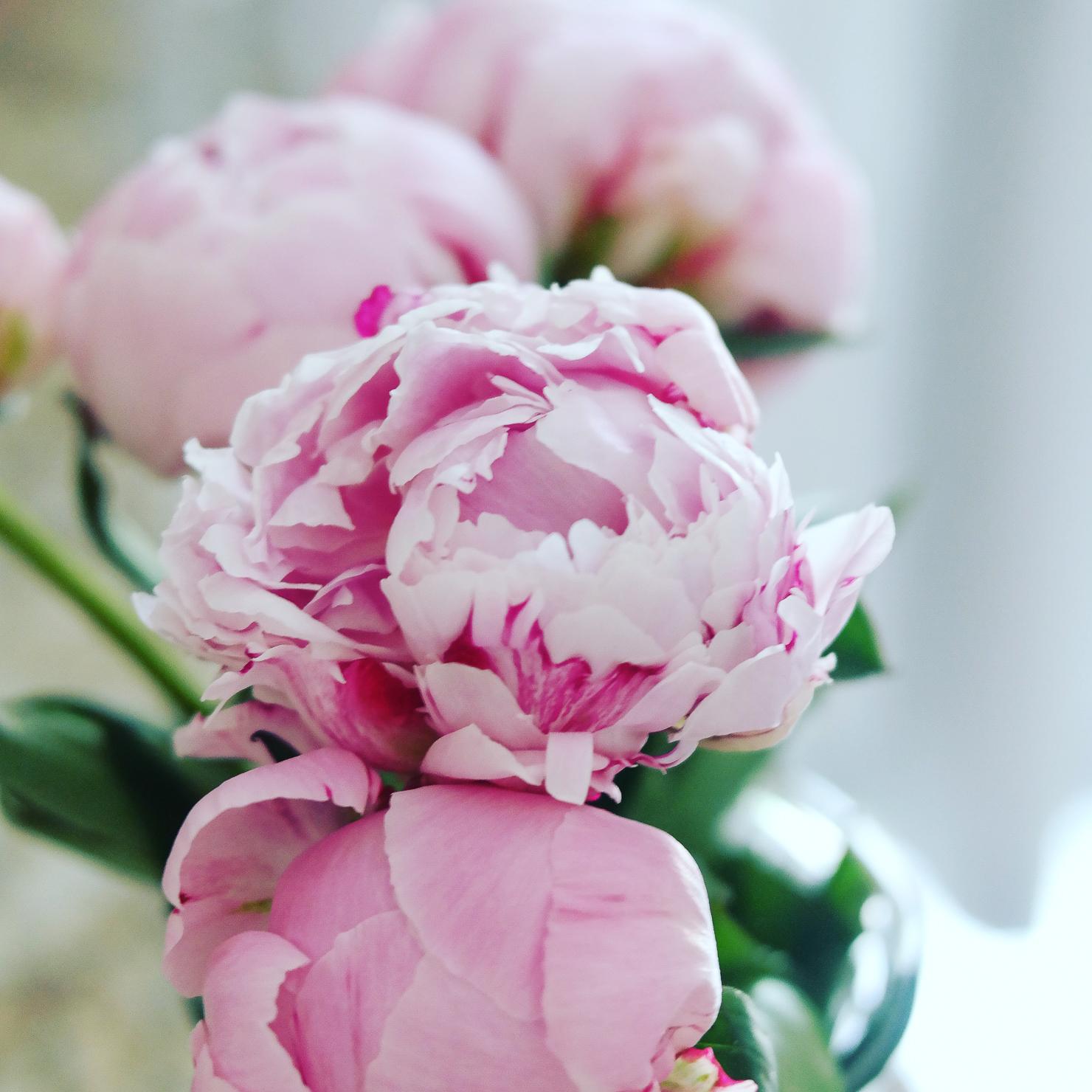 pink-peonies